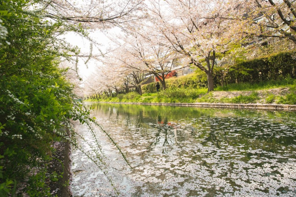 cherry blossom growing along river channel