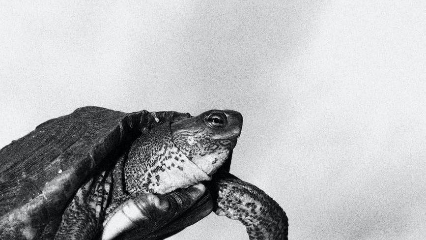 monochrome photo of turtle